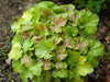 �urawka Heuchera 'Miracle'